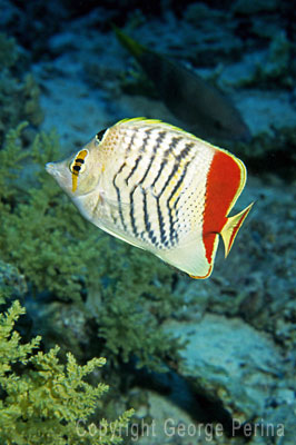 Chevron Butterfly Fish