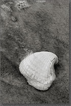 Ship Island Sea Shell